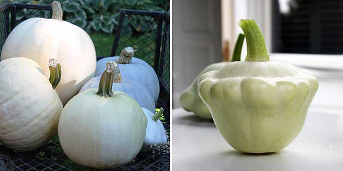 white pumpkins and patty pan squash